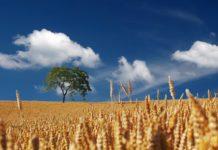 campo di grano, FEASR fondo per lo sviluppo rurale